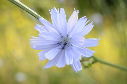 Gemeine Wegwarte - Common Chicory - Cichorium intybus