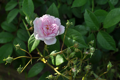 garden roses, flower, plant, flora, rosa pimpinellifolia,