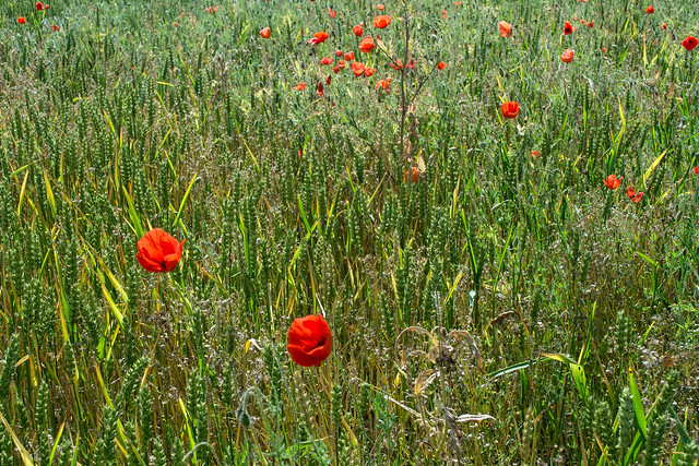 20150704-09_Wheat Field with Poppies