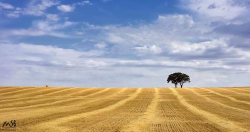 sky españa tree planta nature field clouds landscape arbol spain wheat sony paisaje alimento cielo nubes campo aire libre trigo albacete hierba nex7