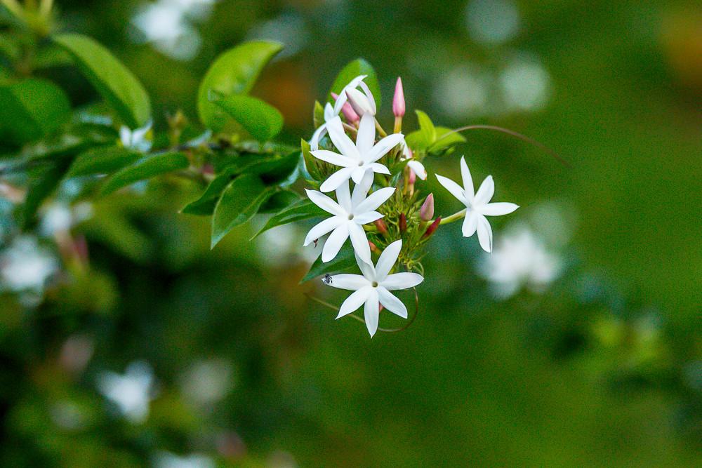 Image result for sri lankan flowers