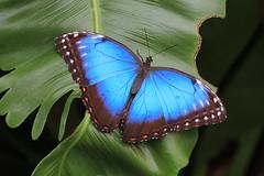 Blauer Schmetterling...