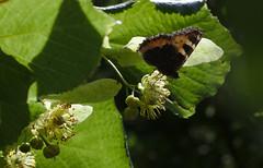 Kleiner Fuchs an Lindenblüte