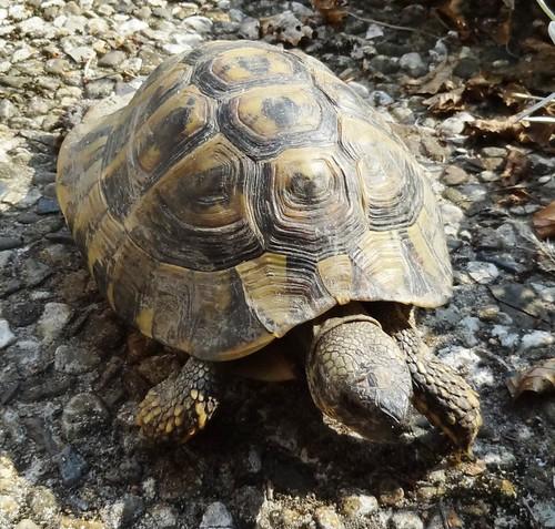 entlaufene Landschildkröte