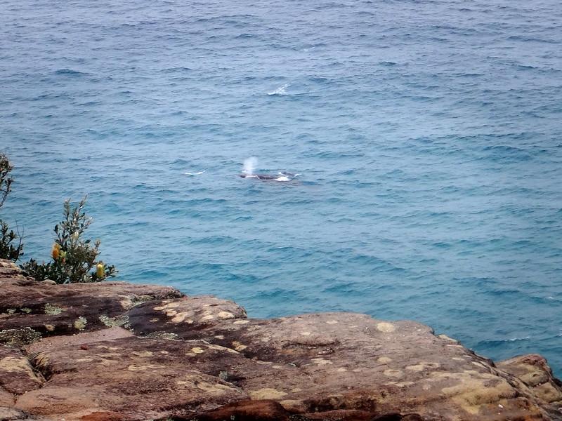 Cape Moreton Whale