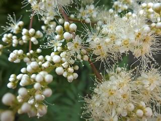 пушистые цветочки