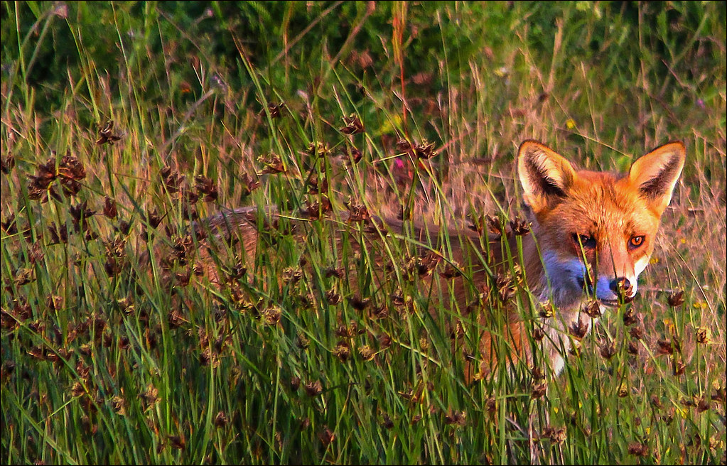 Fox in hiding