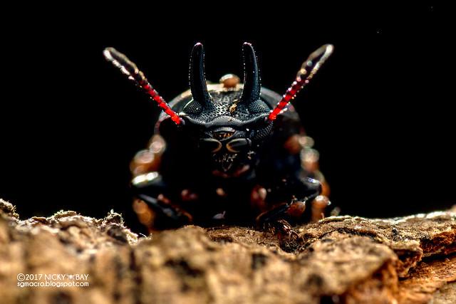 Darkling beetle (Cryphaeus gazella) - DSC_9364