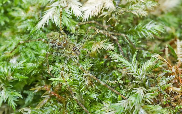 Huntsman spider (Heteropoda sp.)
