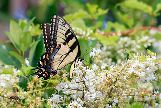 Hon Mention 8 - Eastern Tiger Swallowtail Butterfly - Martha Garito