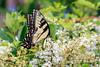 Hon Mention 8 - Eastern Tiger Swallowtail Butterfly - Martha Garito