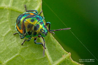 Mangrove shield-backed bug (Calliphara nobilis) - DSC_1219