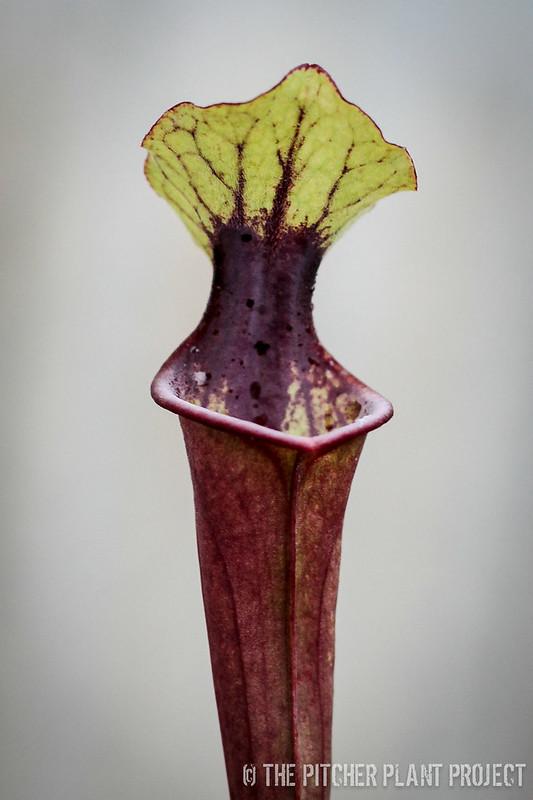 Sarracenia (Leah Wilkerson x oreophila) x (flava var. rubricorpora x leucophylla)