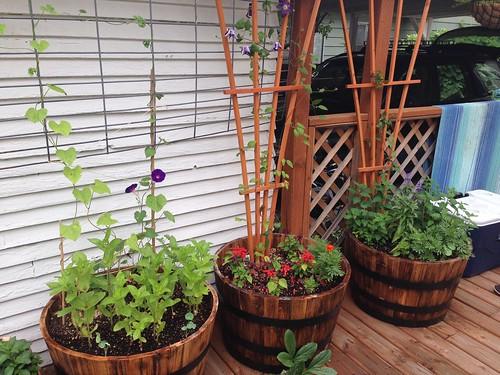 The vining barrels