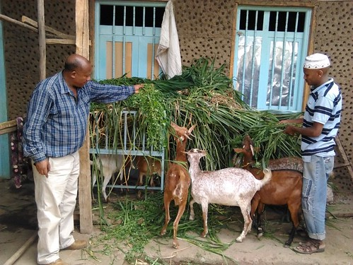 Habil feeding his goats a fodder-based ration consisting of the protein-rich Alfalfa and high-energy grasses