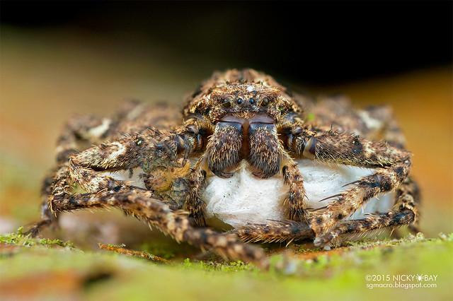 Huntsman spider (Sparassidae) - DSC_5191