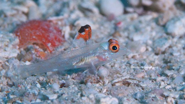 ヒレフリサンカクハゼ幼魚