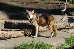 Mexican Gray Wolf known as David Bowie