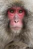 The Snow Monkeys of Jigokudani (Nagano)