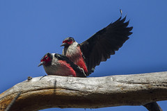 Lewis' Woodpeckers mating - Bend - Oregon_S4E7800