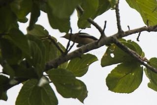 Yellow-bellied Hyliota - Uganda_H8O5908