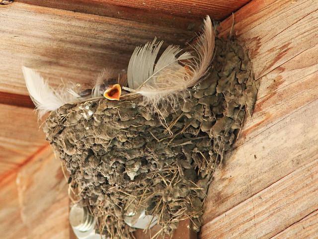 Barn Swallow four nestlings 20150710