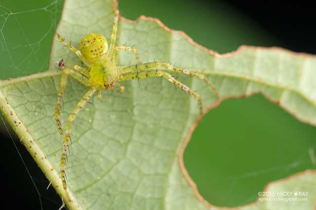 Crab spider (Epidius sp.) - DSC_4956