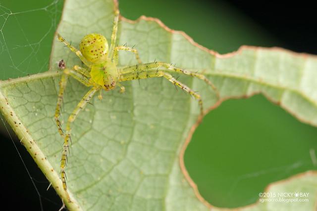 Crab spider (Epidius sp.) - DSC_4956
