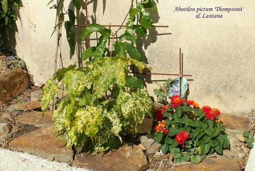 Abutilon pictum 'Thompsonii' & Lantana