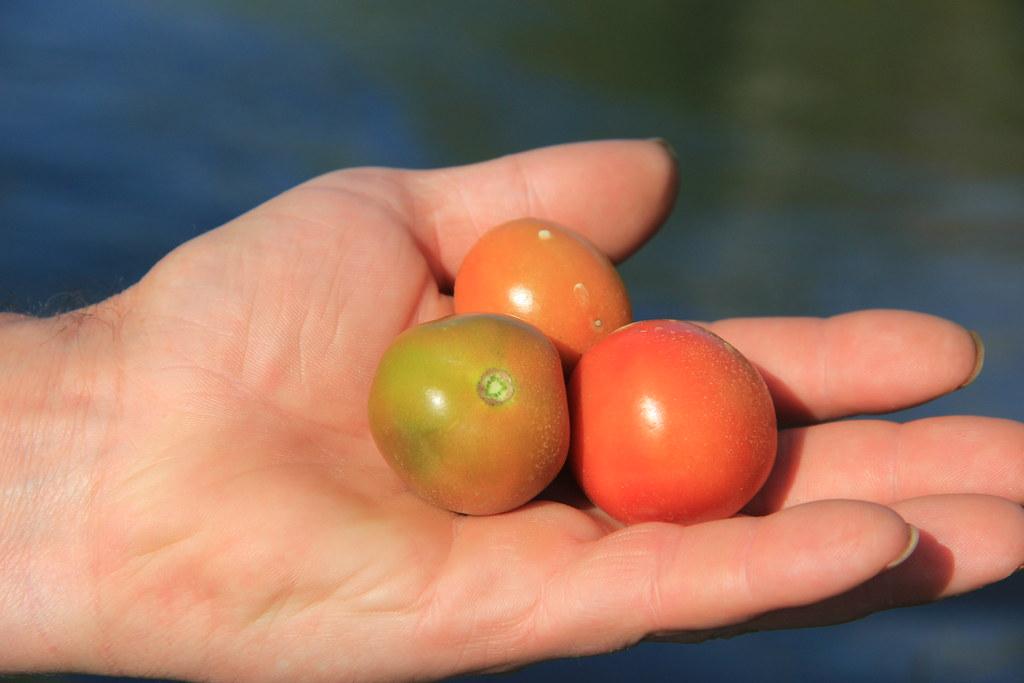 Tomatoes, Inle Lake