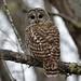 DSC_0041 Barred Owl (Strix varia) Cape Road Tremont MDI  MJGood by Michael J Good