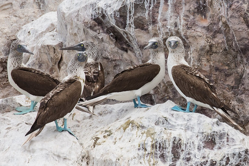 Blue Footed Boobies in Baja