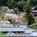 盛滿 ~ Cherry Blossom @ 奈良,長谷寺(はせでら)Hase-dera , Nara ~ by PS兔~兔兔兔~