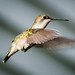 Female Ruby Throated Hummingbird Wing Detail by melmark44