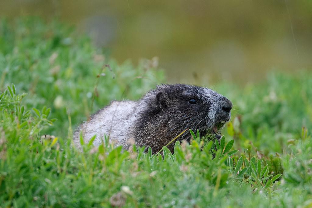 A hoary marmot eats wildflowers on a rainy fall afternoon in Mount Rainier National Park