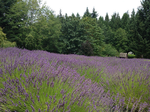 Lavender Harvest Festival at Sacred Mountain Farm