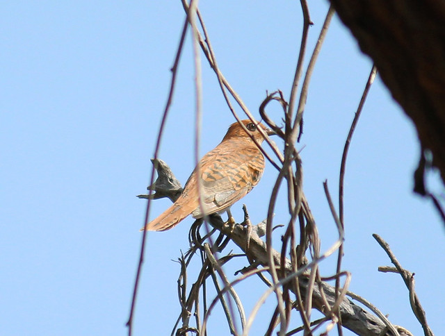 Indian Plaintive Cuckoo Female3