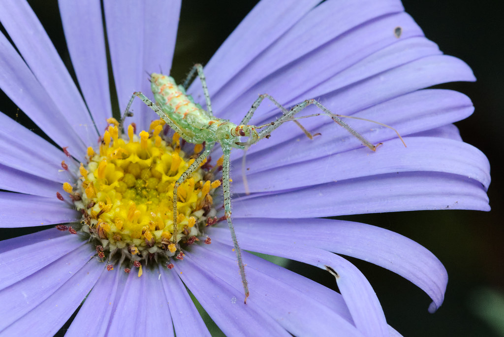 An assassin bug nymph sits on an aster blossom