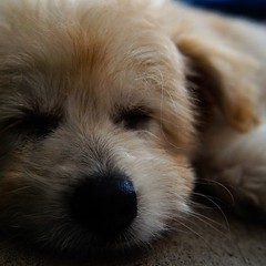 dog breed, nose, animal, puppy, dog, pet, snout, mammal, close-up, golden retriever, whiskers,