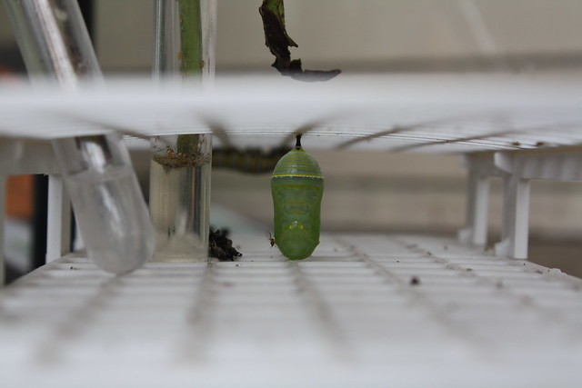 Caterpillar to Chrysalis
