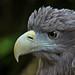 White-tailed eagle - Seeadler by pe_ha45