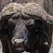 Small photo of African buffalo