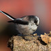 Long-tailed Tit - Aegithalos caudatus by normanwest4tography