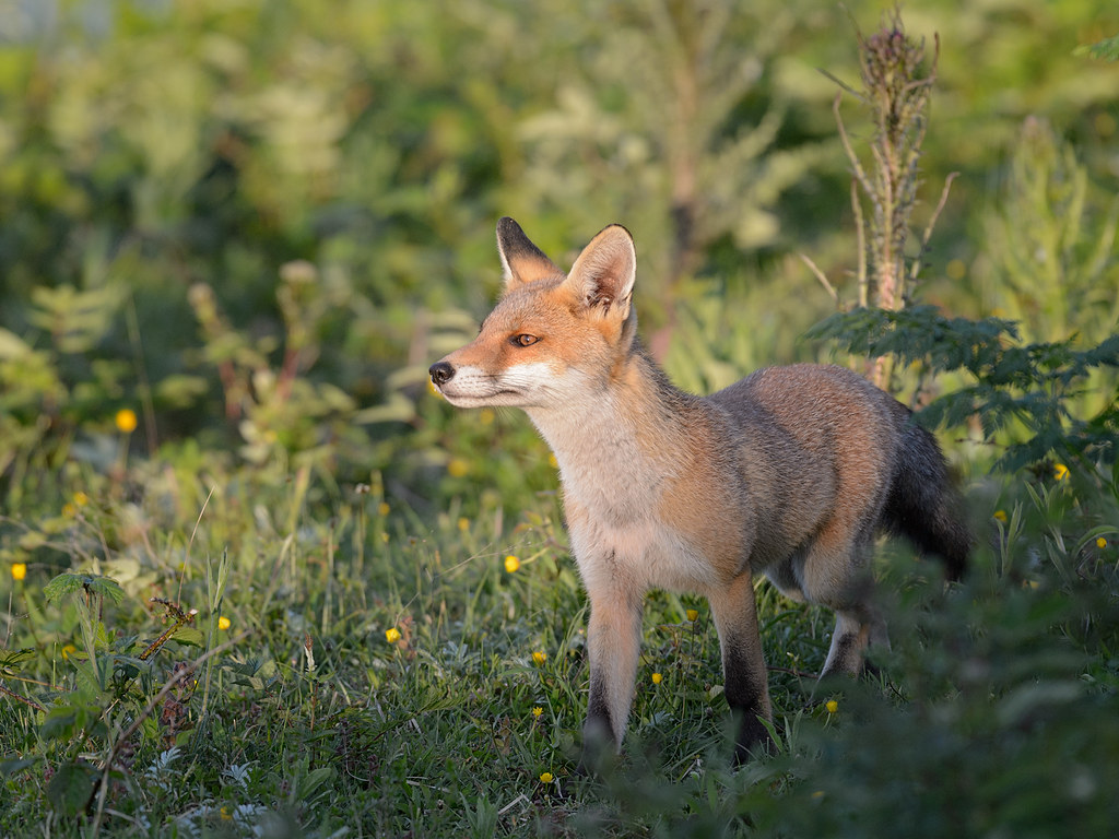 Fox cub - Late Spring evening