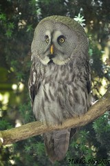 falcon(0.0), animal(1.0), bird of prey(1.0), owl(1.0), fauna(1.0), beak(1.0), great grey owl(1.0), bird(1.0), wildlife(1.0),
