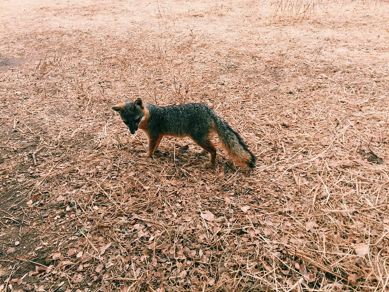 Island Fox!