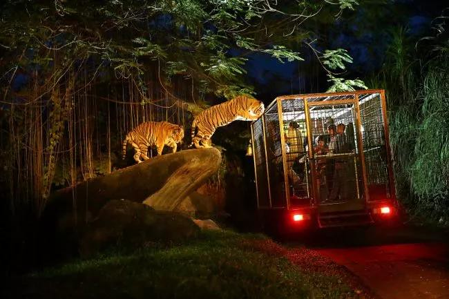 4.-Night-Safari-Tiger-experience-by-Bali.tamansafari.com_