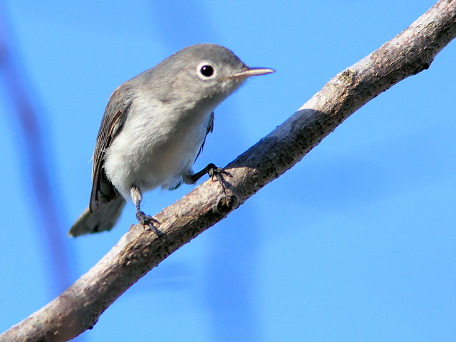 Blue-gray Gnatcatcher 3-20150720