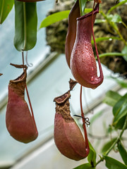 pitcher plant, flower, red, plant, flora,