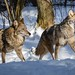 Coyotes at Shubenacadie Wildlife Park by Nancy Rose